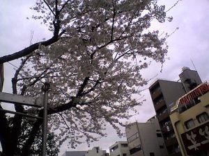 Monnakasakura