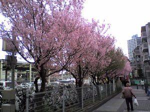 Sakurabeforefujiminost1